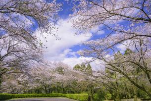 桜咲く母智丘公園の写真素材 [FYI04517338]