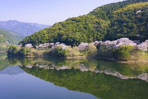 桜の市房ダムの写真素材 [FYI04517342]