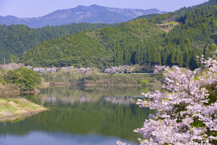 桜の市房ダムの写真素材 [FYI04517344]