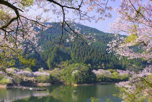 桜の市房ダムの写真素材 [FYI04517345]