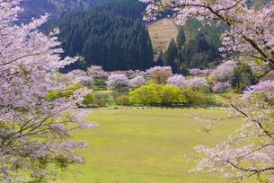 桜の市房ダムの写真素材 [FYI04517346]