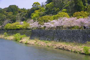 桜咲く人吉城跡の写真素材 [FYI04517349]