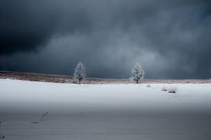 霧ヶ峰高原雪原に立つ二本の霧氷の木の写真素材 [FYI04517620]