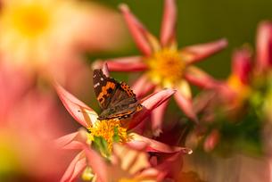 オレンジのダリアに留まるアカタテハの写真素材 [FYI04517789]
