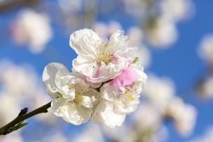 花桃の写真素材 [FYI04518229]