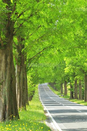 花咲く緑のメタセコイア並木の写真素材 [FYI04518402]