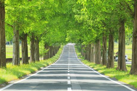 緑のメタセコイア並木の写真素材 [FYI04518403]