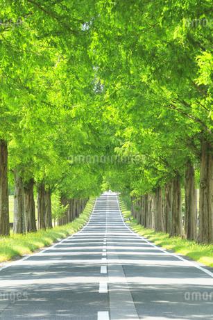 緑のメタセコイア並木の写真素材 [FYI04518404]