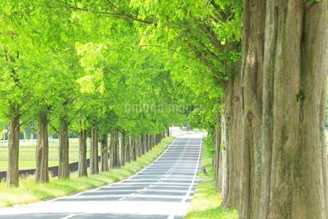 緑のメタセコイア並木の写真素材 [FYI04518405]