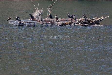 湖上のカワウの写真素材 [FYI04518620]