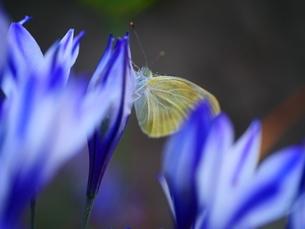 蝶々の写真素材 [FYI04518888]