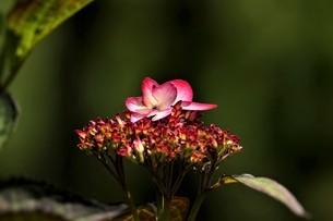 森の中で咲いた2段重ねの花の写真素材 [FYI04519505]
