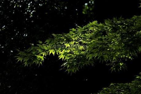 木漏れ日に光る青モミジの写真素材 [FYI04519574]