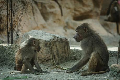 シンガポール動物園のマントヒヒのイメージの写真素材 [FYI04519694]