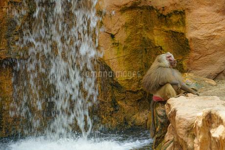 シンガポール動物園のマントヒヒのイメージの写真素材 [FYI04520152]