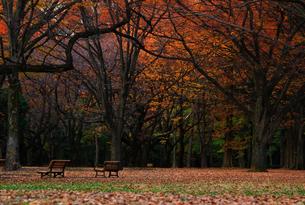 秋の紅葉した木々が立ち並ぶ夕暮れ時の代々木公園の風景の写真素材 [FYI04520429]