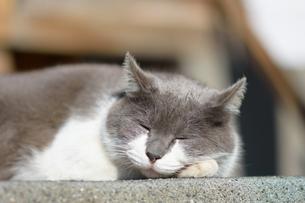 ネコの写真素材 [FYI04520909]