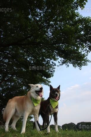 笑顔で並ぶ2匹の犬と新緑の写真素材 [FYI04521257]