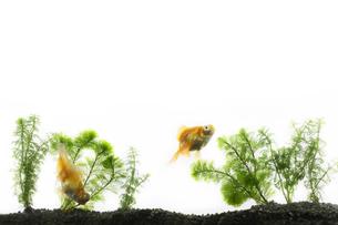 水槽で泳ぐ二匹の金魚の写真素材 [FYI04521553]