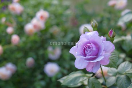 紫のバラの写真素材 [FYI04521727]