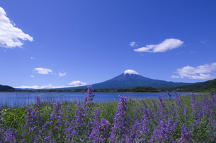 富士山とラベンダーの写真素材 [FYI04521733]