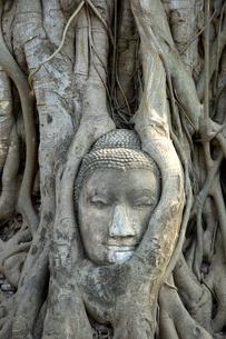 タイ アユタヤ ワットプラマハータートの木の中の仏像の顔の写真素材 [FYI04521944]