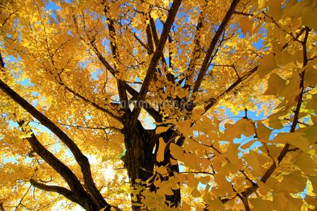 朝の日差しで金色に輝く秋の黄色く紅葉したイチョウの木の写真素材 [FYI04522086]