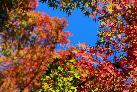 秋の季節に赤く色づき始めたカエデの葉の写真素材 [FYI04522090]