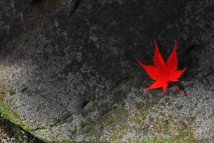 石の上に落ちた赤く紅葉したカエデの葉の写真素材 [FYI04522092]