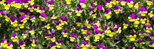 ビオラの花畑 の写真素材 [FYI04522416]