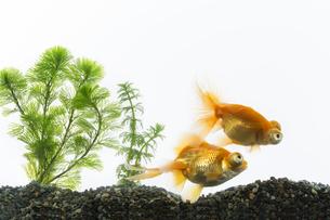 水槽で泳ぐ二匹の金魚の写真素材 [FYI04522580]