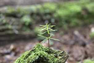倒木に生える苗木の新芽の写真素材 [FYI04522641]
