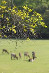 ナンキンハゼの新芽と鹿の群れの写真素材 [FYI04522647]