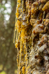 アラスカの樹木をつたう樹液の写真素材 [FYI04522894]