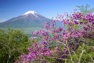 山梨県 杓子山に咲くミツバツツジと富士山の写真素材 [FYI04523325]