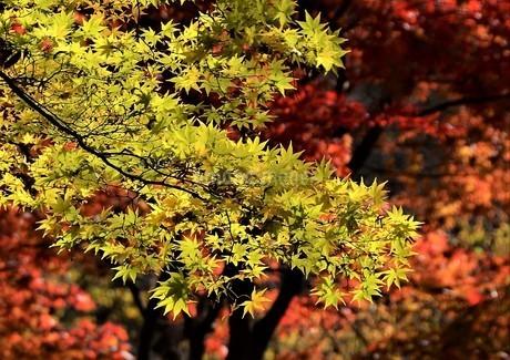 紅葉した樹林を背景にして これから色づく楓の葉との対比の写真素材 [FYI04523557]