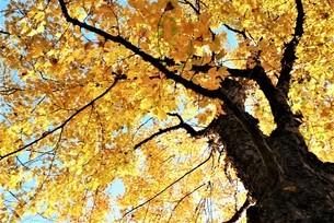 黄色く染まった銀杏の紅葉 澄み渡る青い空を背景 ローアングル見上げる描写の写真素材 [FYI04523558]