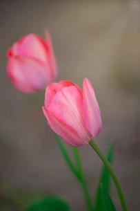 ピンク色のチューリップの写真素材 [FYI04523643]