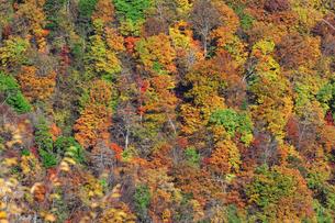 紅葉で鮮やかに染まった木々のアップの写真素材 [FYI04523645]