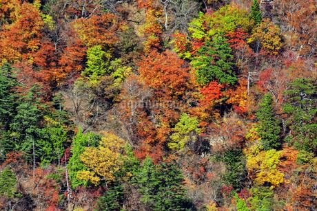 紅葉で鮮やかに染まった木々のアップの写真素材 [FYI04523646]
