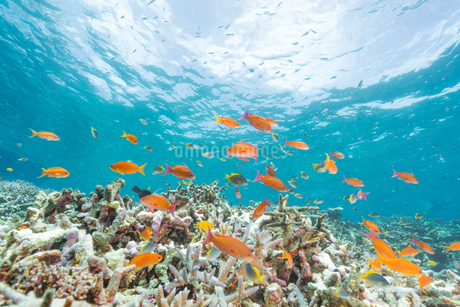 サンゴとハナダイの群れの写真素材 [FYI04523734]