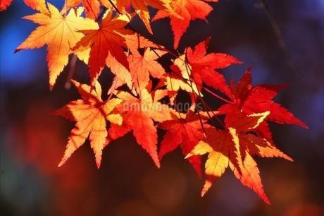 逆光に輝く紅葉の錦 葉脈の中に葉の影を落すの写真素材 [FYI04523829]