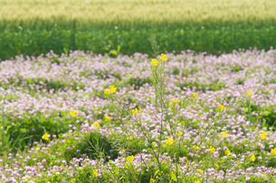 麦畑とレンゲ畑の写真素材 [FYI04524104]