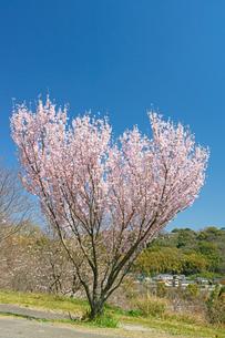 ハート型の桜の写真素材 [FYI04524109]