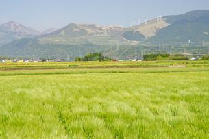 風力発電と麦畑の写真素材 [FYI04524234]