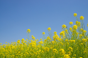 菜の花畑の写真素材 [FYI04524238]