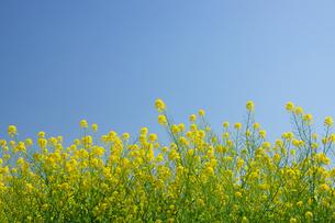 菜の花畑の写真素材 [FYI04524241]