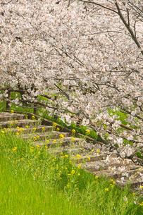 菊池公園の桜の写真素材 [FYI04524251]