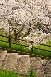 菊池公園の桜の写真素材 [FYI04524252]