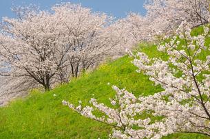 菊池公園の桜の写真素材 [FYI04524256]